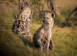 Les hyènes en politique